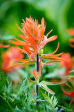 Indian Paintbrush print