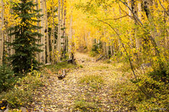 White River National Forest,aspen,fall,road