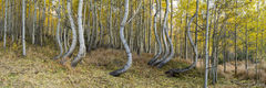 Dancing Aspen,panorama,surrealistic,twisted,aspen
