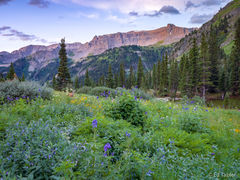 Deer, wildflowers, dawn, Yankee Boy Basin, Colorado