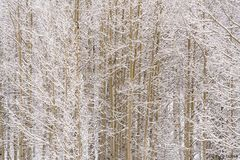snow, branches, aspen, texture, winter, route, national forest, colorado, trees, cool