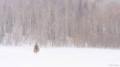 solitude, routt national forest, colorado, tree