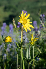 aspen sunflower,  lupine,  crested butte, colorado