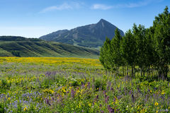 mule ears, larkspur, lupine, Crested Butte, Colorado
