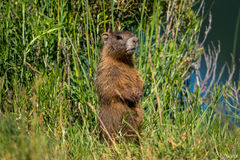 marmot, Nicholson Lake, Gunnison National Forest