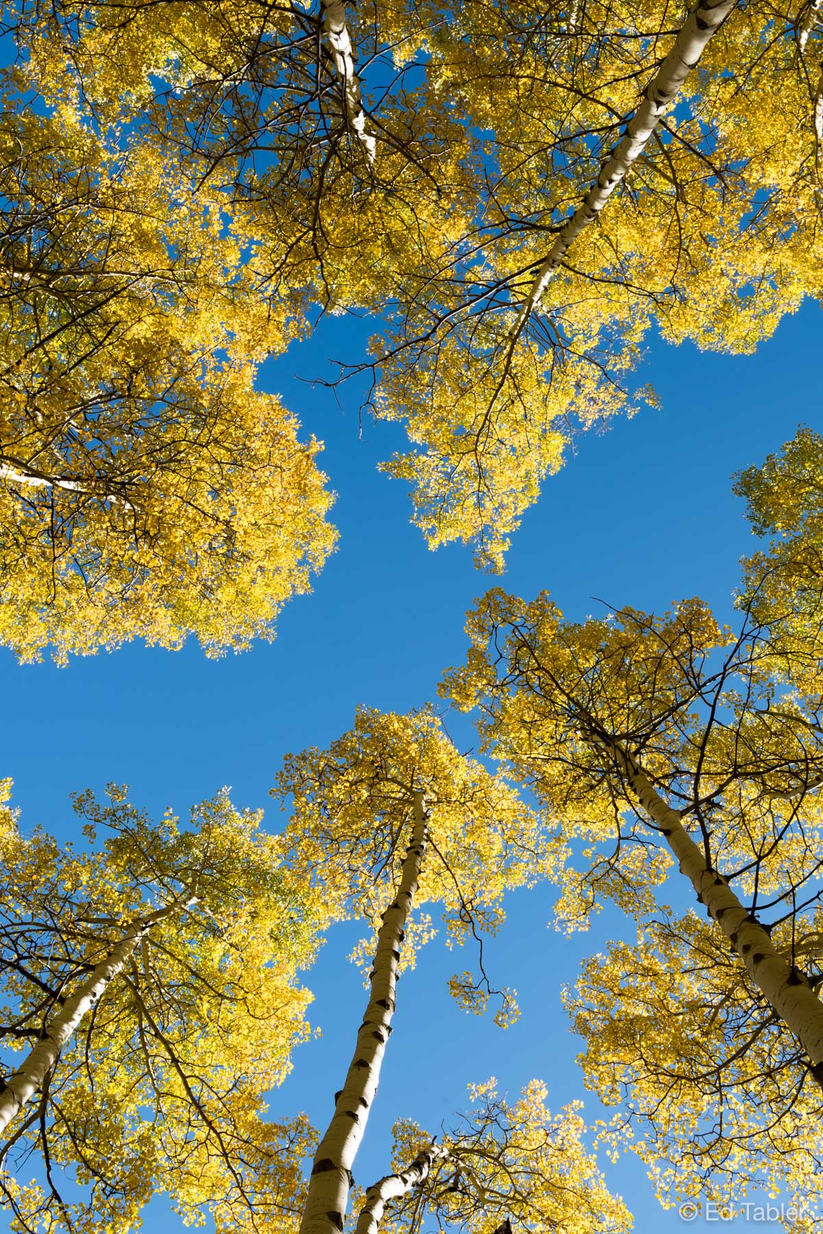 White River National Forest,aspen,yellow,blue,Colorado, photo