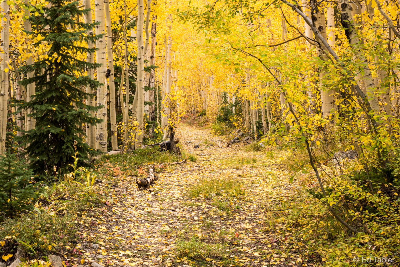 White River National Forest,aspen,fall,road, photo