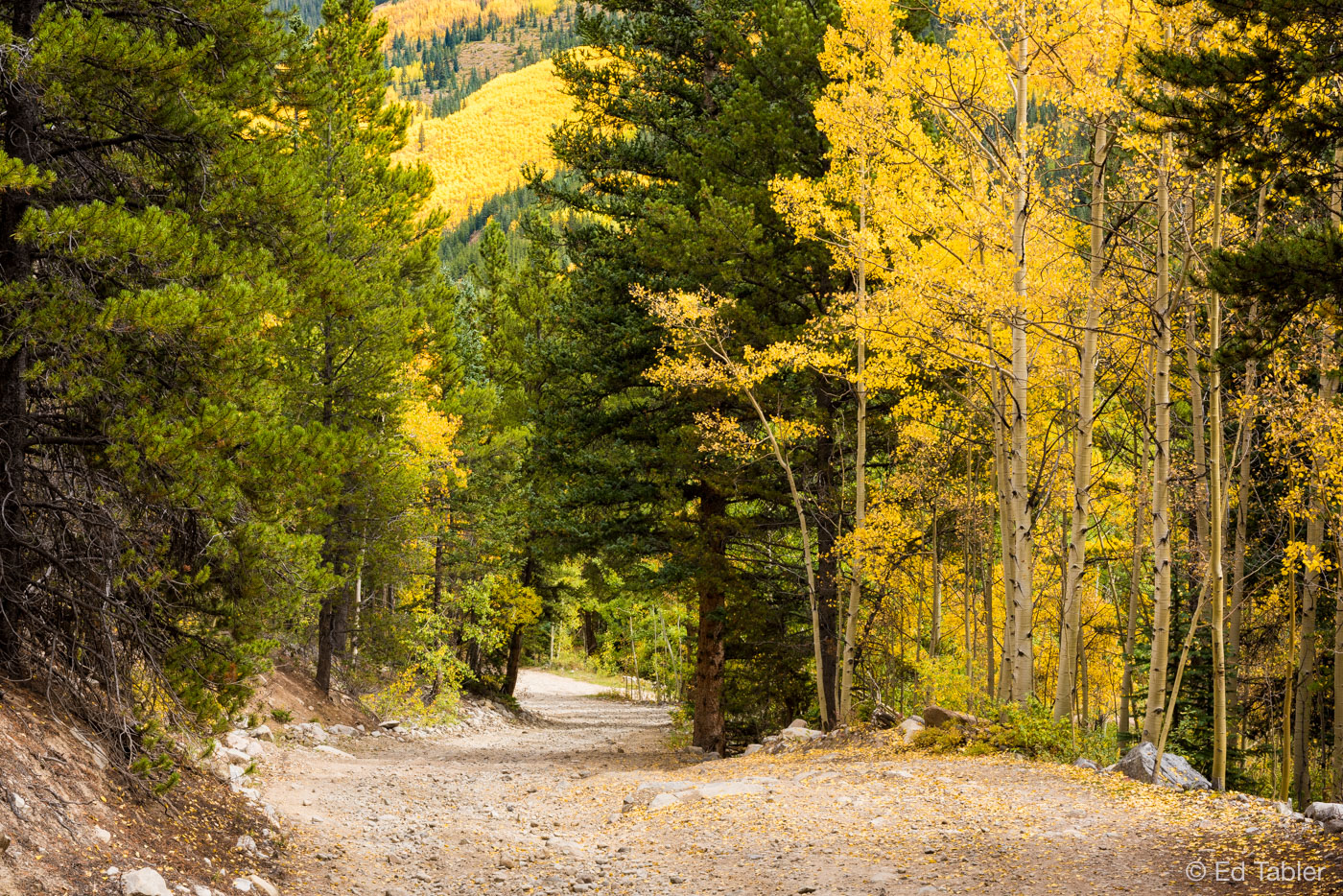 Aspen,White River National Forest,fall, photo