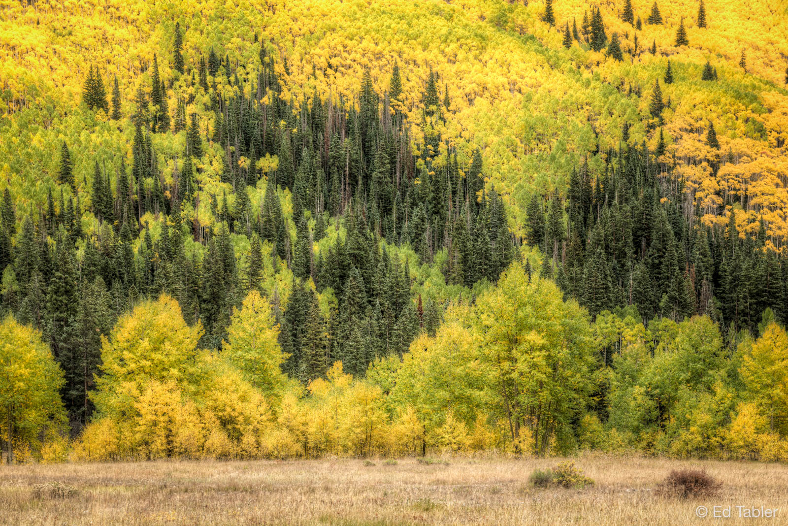 Aspen,Colorado,White River National Forest,autumn,meadow, photo