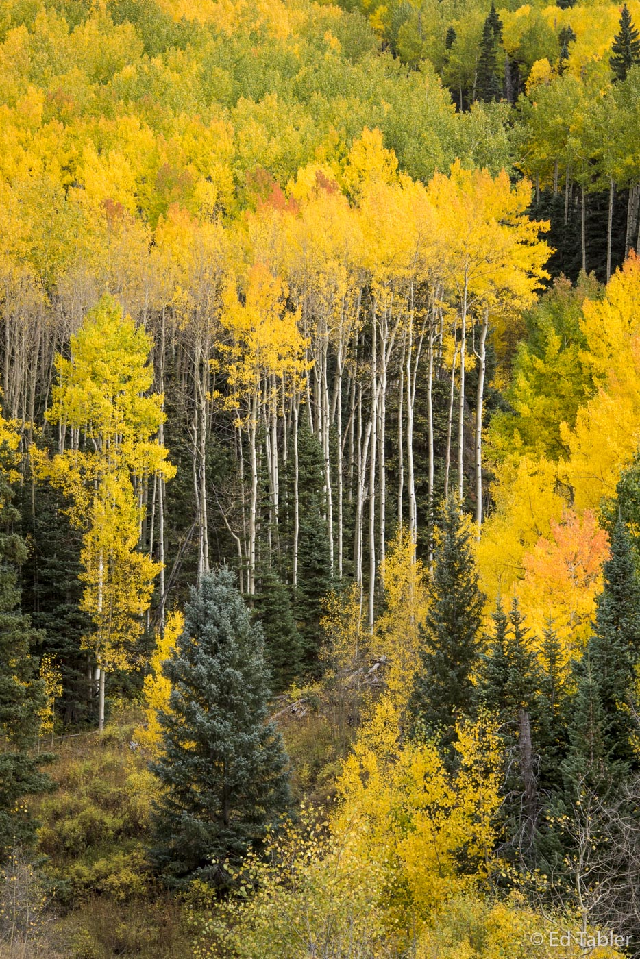 Uncompahgre National Forest, aspen, long trunks, fall, photo