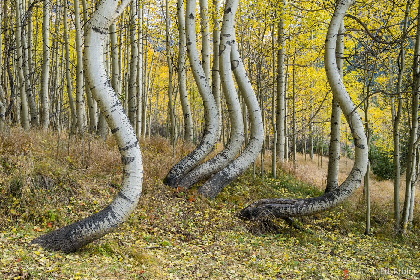 Surrealistic aspen,dancing aspen, photo