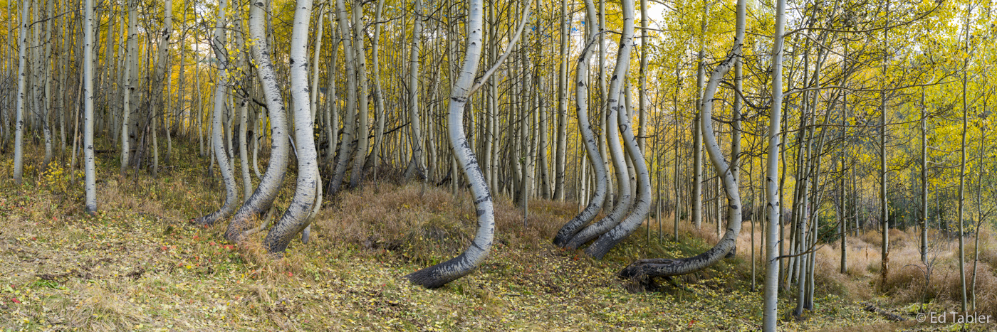 Dancing Aspen,panorama,surrealistic,twisted,aspen, photo