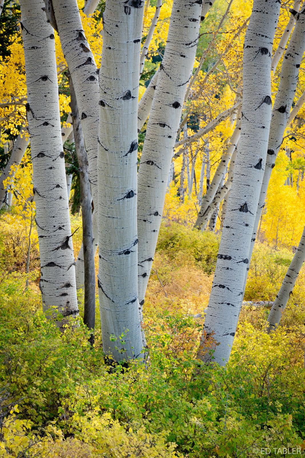 Fall aspen near Last Dollar Road between Ridgway and Telluride, Colorado.