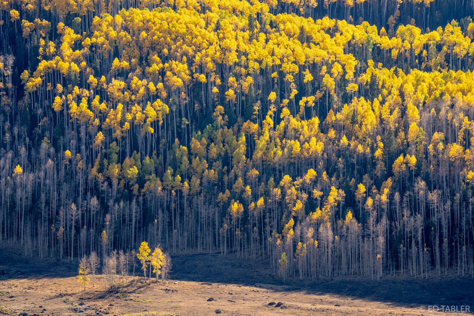 autumn, uncompahgre, national forest, colorado, rays, afternoon sun, golden, aspen, solitary, strand, valley, photo