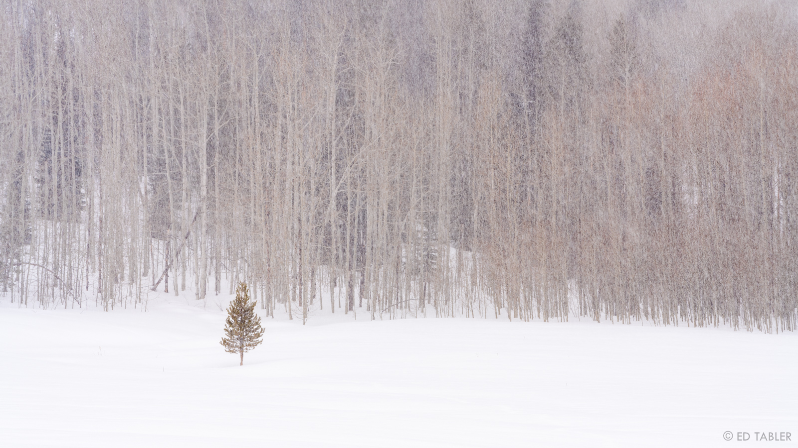 One small tree, not only managing to grow, but seeming to thrive, on its own, just outside of the forest. The falling snow and...