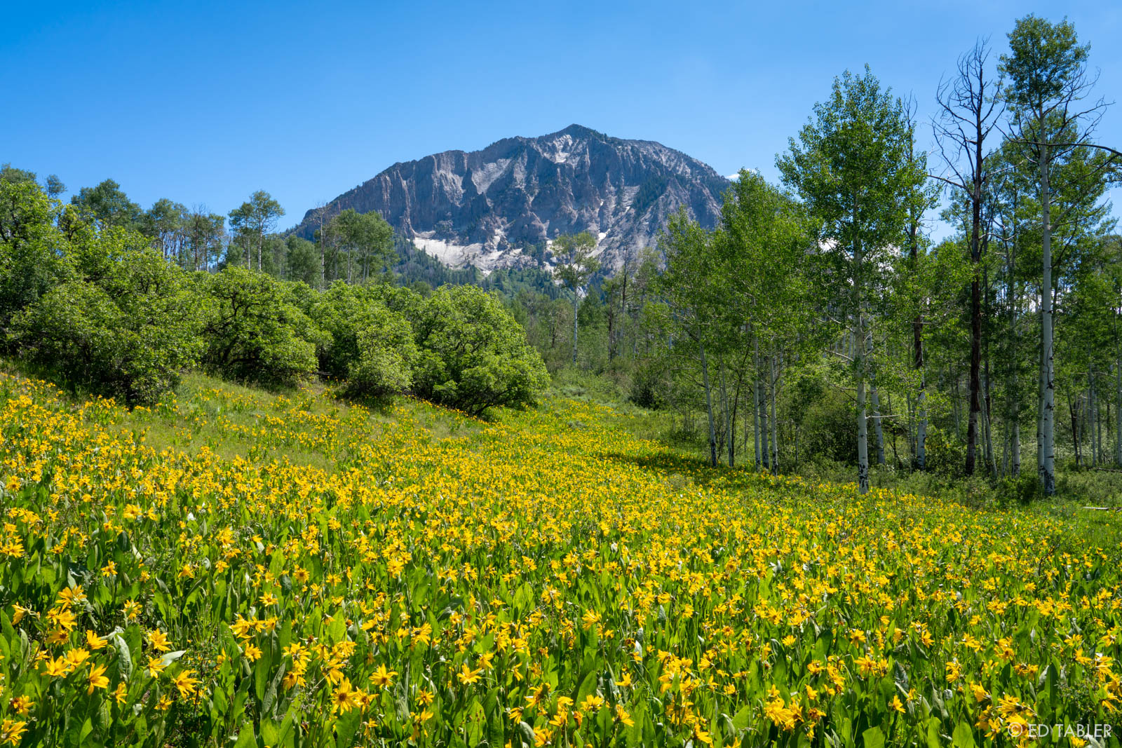 A veritable river of brilliant yellow mule ears appears to flow from Marcellina Mountain in the back.