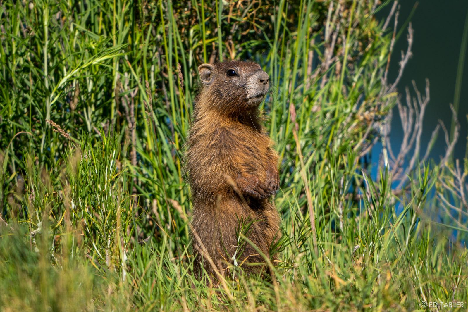 A marmot ponders the odd presence of a lone photographer.