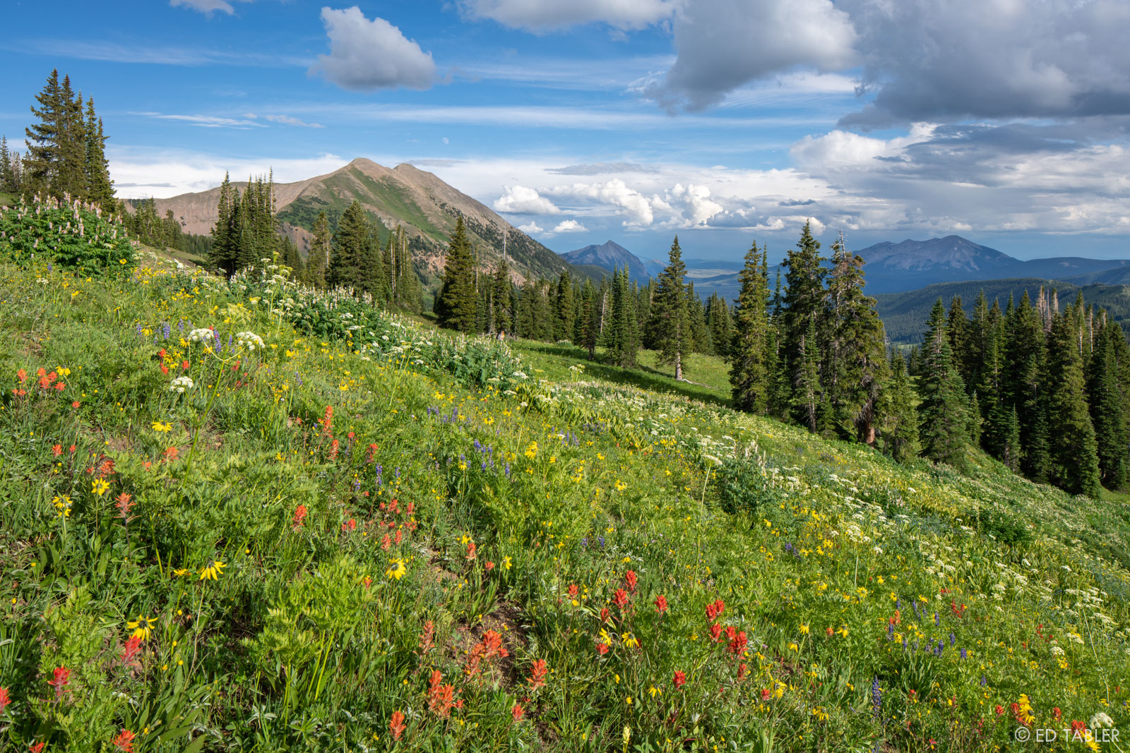 Indian paintbrush, aspen sunflower, lupine, cow parsnip and corydalis carpet the slopes of Washington Gulch with Gothic Mountain...